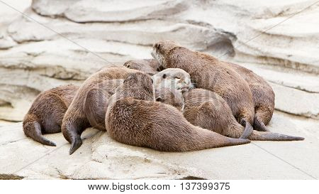 Lazy Group Of Asian Small-clawed Otter