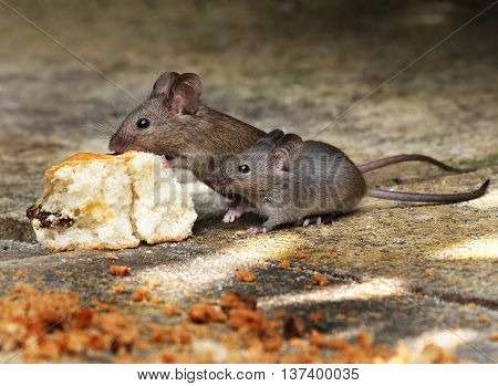 Mice feeding from scone in house garden.