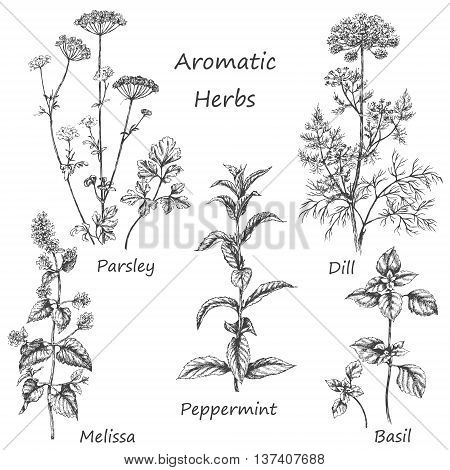 Hand drawn floral elements. Aromatic herbs set. Sketch of medicinal fragrant plants and spices. Monochrome image of dill mint parsley basil melissa peppermint.