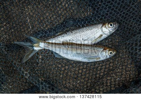 Several Ablet Or Bleak Fish On Black Fishing Net.