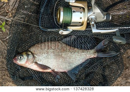 Common Bream Fish On Black Fishing Net. Catching Freshwater Fish And Fishing Rods With Fishing Reel