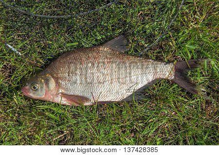 Bream Fish On Green Grass. Catching Freshwater Fish And Fishing Net.