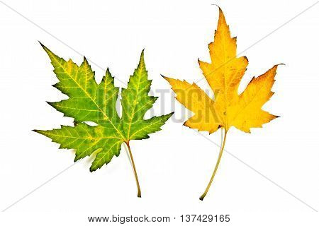 Autumn Maple Leaves Isolated On White Background. With Clipping Path.