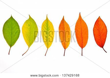 Assort Of Different Autumn Leaves Isolated On White Background. With Clipping Path.