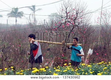 HÀ NỘI, VIỆT NAM, January 14, 2016 the group of people, Nhật Tân village flower planting, harvesting plants, Tết