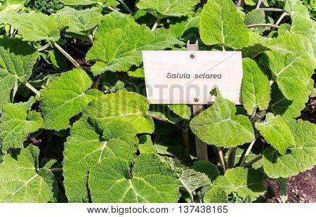 Clary sage (Salvia sclarea) plant in a garden