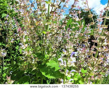 Pink and purple flowering clary sage (Salvia sclarea)