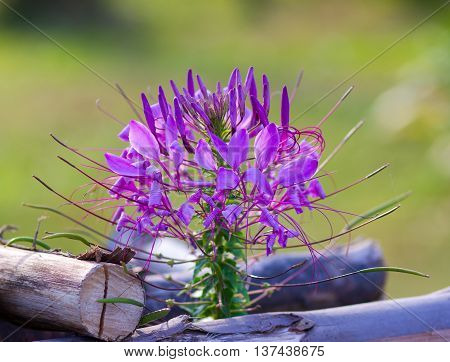 Spider flower(Cleome hassleriana) in the garden for background use.