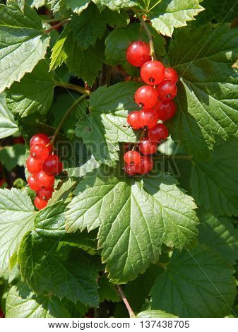 Red Wine berry on the leaves outside
