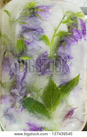 Frozen fresh beautiful flower of campanula and air bubbles in the ice cube