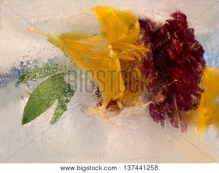 Frozen fresh beautiful flower of lily peony and air bubbles in the ice cube