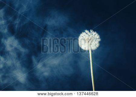 dandelion flower on fog background