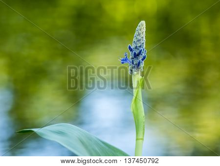 Royal Pickerel flower with a colorful out of focus background.