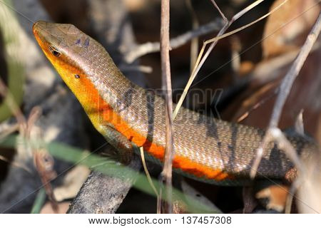 front end of Common Sun Skink in the woods near Songkhkla, Thailand