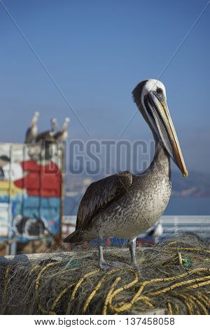 VALPARAISO, CHILE - JULY 5, 2016: Peruvian Pelican (Pelecanus thagus) standing on a pile of old fishing nets at the fish market in the UNESCO World Heritage port city of Valparaiso in Chile.