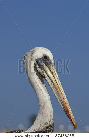 Portrait of a Peruvian Pelican (Pelecanus thagus) at the fish market in the UNESCO World Heritage port city of Valparaiso in Chile.