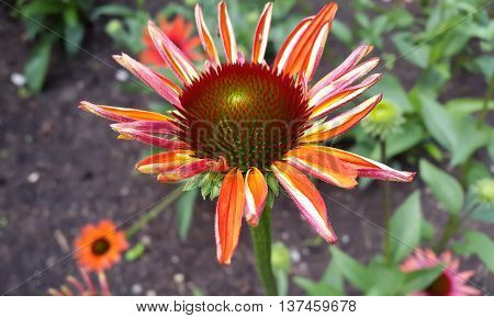 Blooming medicinal herb echinacea or coneflower, close-up, selective focus