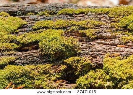Closeup from moss on tree trunk with bark