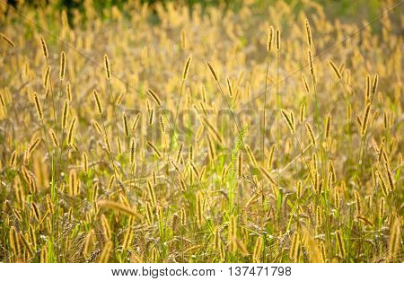 Dry seteria grass on cereal field background