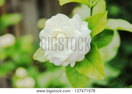 Jasmine (Other names are Jasminum , White background green blur.