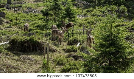 Group of deer - deer and several deer in a clearing in the woods on a summer day in a forest in Sumava Bohemia Czech republic