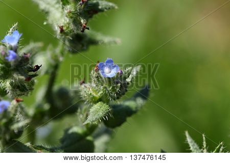 Flowers of a small bugloss or annual bugloss (Anchusa arvensis)