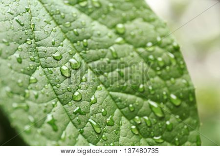 Green leaf, closeup