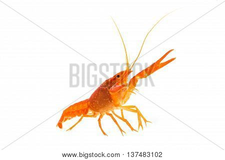 The Orange Mexican Crayfish on white background