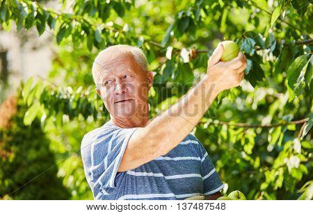 Senior man in the harvesting of green apples on an apple tree