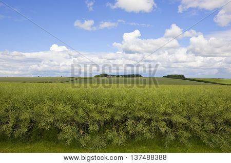 Summer Canola Crop