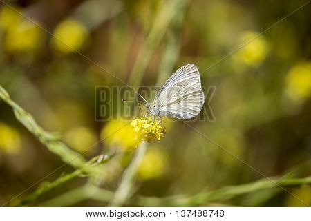 Cabbage White - Pieris rapae, feeding on nectar of a yellow flower