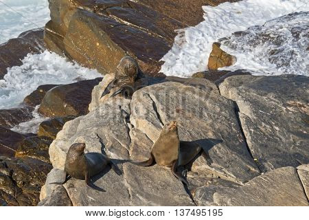 New Zealand fur seals sunbathing on Colony rocks near the ocean at Admirals Arch, coast of Kangaroo Island, South Australia