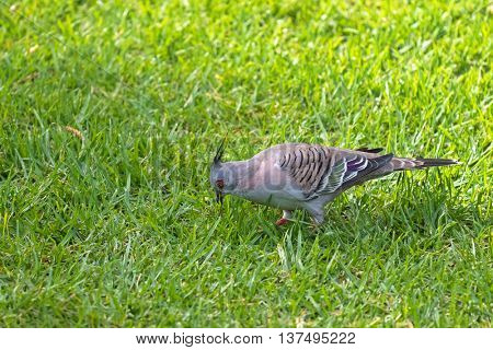 Closeup of Crested Pigeon bird with black spike on head looking for food walking on green grass in Australia. (Ocyphaps lophotes)