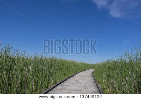 Boardwalk in a Marsh Surrounded by Cattails