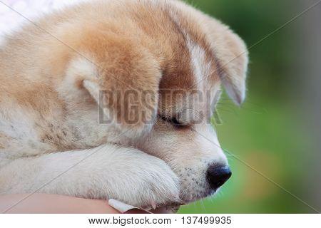 Japanese Akita Inu puppy dog sleep close up