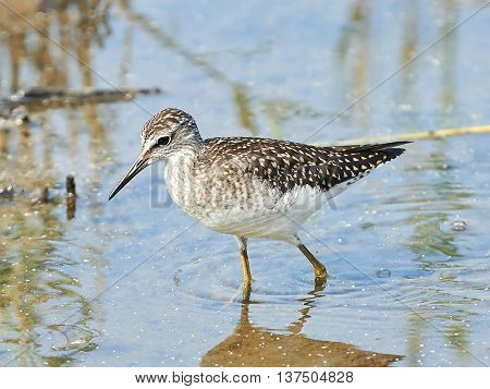 Wood Sandpiper (Tringa glareola) looking for food in shallow water