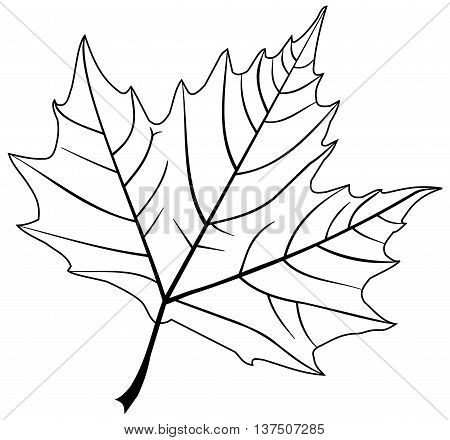sycamore , illustration  isolated sycamore leaf ,