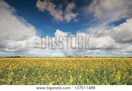 canola flower field and blue sky Groningen Netherlands