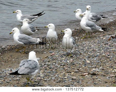 Gulls on a beach of the Lake Ontario in Toronto 23 June 2016 Canada