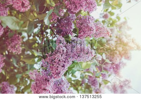 Floral spring purple lilac flower in sunlight background. Summer park outdoor abstract nature. Bloom macro pink flowers concept soft film tonal. Eco organic and beauty season concept.