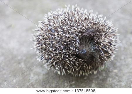 Young hedgehog curled up into a ball