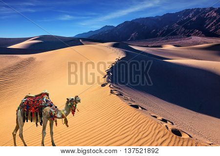 Camel with a blanket and harness in the desert. Sand dune covered with waves of sand