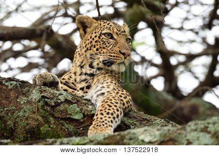 The leopard (Panthera pardus) in natural habitat