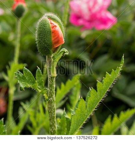 Bud blossoming poppy. Flower ripped skin and is ready to break out.