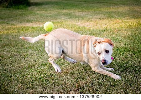 Dog chasing a ball focused on the ball