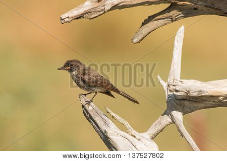 Eastern Phoebe perched on driftwood after shaking water off
