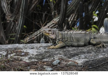 A iguana on a log sunning himself in front of a cactus on St. John island.  iguana, St, John, island, tropical, lizard, reptile. animal.
