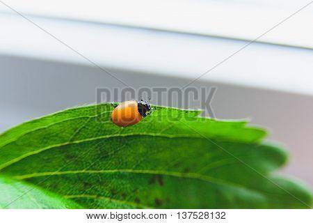 Newborn Ladybug Without Spots
