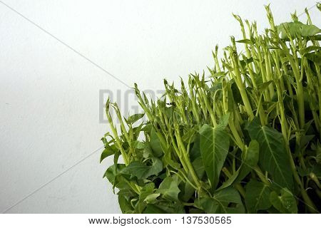 group of shoots chinese morning glory plant