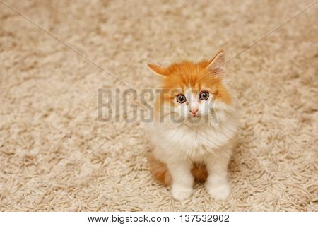 Cute ginger and white kitten sitting on the floor in the room. Cat looking up with sad eyes. Pets. Funny animals.